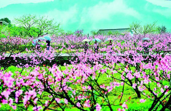 上万株桃树和梨树缀成粉红与雪白相间的花潮,铺满着田野,错落在林间