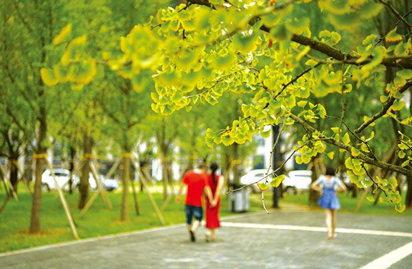 路边银杏树上白果累累, 叶儿开始变黄, 秋的气息扑面而来.