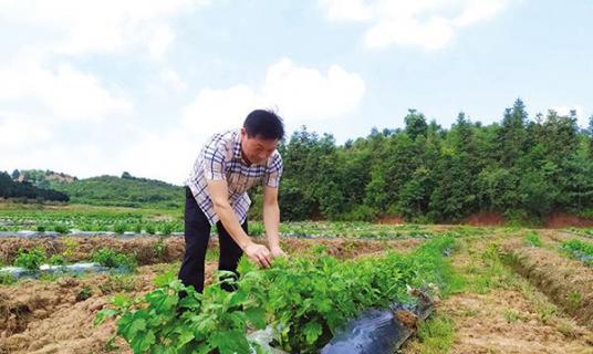 柑橘林里套种金丝皇菊,助水库移民增收致富