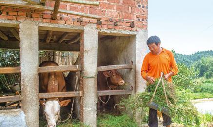 石柱峰下养猪养牛养土鸡,循环农业开辟致富路