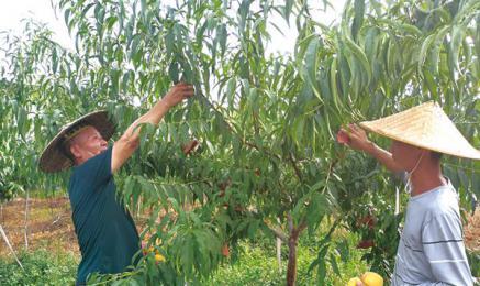 5人返乡创业,荒地上建起千亩果园